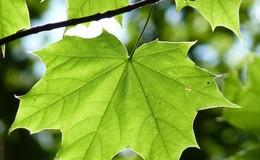 Rußrindenkrankheit: Ahornbäume am Tageberg müssen zwangsgefällt werden