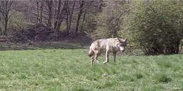 Mehrere Wölfe in der Region bestätigt: Ein Jäger berichtet