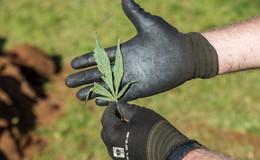 Marihuanaplantage mit 700 Pflanzen ausgehoben - zwei Tatverdächtige