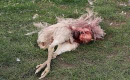 DNA-Spuren am toten Nandu aus Leibolz stammen von Fuchs