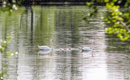Niedlicher Nachwuchs: Fünf Schwanenbabys am Aueweiher