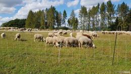 Kreisbauernverbände fordern: Stölzinger Wölfin abschießen
