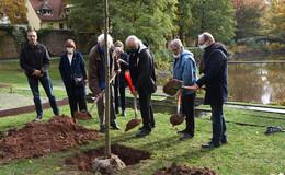 Für 70 Jahre Festspiele werden 70 Stadtbäume gepflanzt
