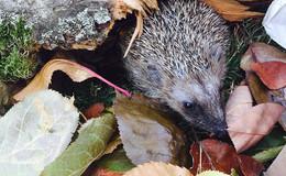 Herbstzeit ist Igelzeit: menschliche Obhut - oft falsch verstandene Tierliebe