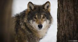 Tote Wölfin von Bad Orb identifiziert - Tier war hessenweit bekannt