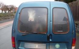 Echtes Rind im Auto - Polizei vermutet zunächst Karnevalsrequisit