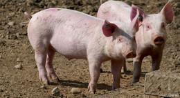 Möglicher Ausbruch der Schweinepest: Der Vogelsbergkreis ist gerüstet