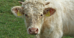 Unbekannte verletzten Jungbullen schwer: Tier muss eingeschläfert werden