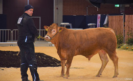34. Fleischrindertag in der Hessenhalle: 170 Tiere aus Hessen und Thüringen