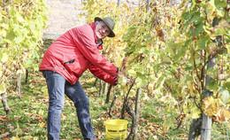 Weinlese bei Traumwetter: Doch wie geht es für den Weinkonvent weiter?