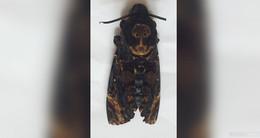 Hannibal Lecter lässt grüßen: Totenkopfschwärmer in Trätzhof entdeckt