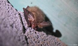 Fledermäuse stehen unter besonderem und strengen Schutz
