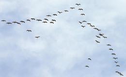 Kranichzug, Silberreiher auf Mäusejagd und Enten auf der Fulda