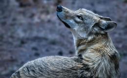 Zwei Kälber und zwei Ziegen gerissen - War es der Wolfshund aus dem Moor?
