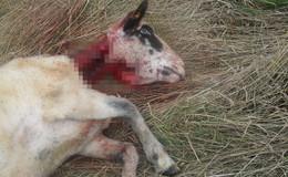 Schafe in Abtsroda und Rotenburg von Wölfen getötet