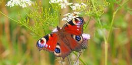 Erste frühe Falter unterwegs: NABUruft zu Schmetterlingsmeldungen auf