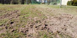 Wildschweine pflügen Sportplatz um: Stadt sieht keinen akuten Handlungsbedarf