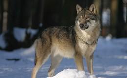Nichts Neues vom Wolf: Tier trotz vieler Hinweise noch nicht eingefangen