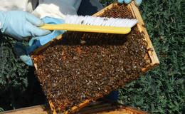 Bienen wurden offensichtlich vergiftet - sechs Völker verendet