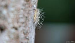 Gefährliche Raupen: Eichenprozessionsspinner breitet sich wieder aus