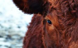 Er quälte seine eigenen Tiere - Rinderhalter am Amtsgericht verurteilt