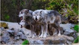 Leute haben Angst um ihre Kinder - Dürfen Wölfe bald abgeschossen werden?
