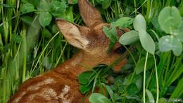 Kitze vor dem Mähtod retten: Jungwildrettung aus der Luft