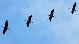 Massenflug der Glücksvögel über den Seulingswald
