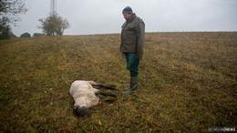 Schäfer ist sich sicher: Ein Wolf hat meine Schafe gerissen