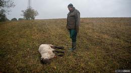 Nach Wolfsangriff in Dens weitere Schafe in Seifertshausen getötet