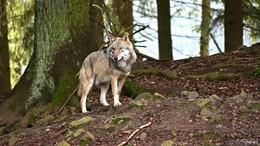 Wölfe beunruhigen Weidetierhalter: große Demo am 15. Januar in Wiesbaden