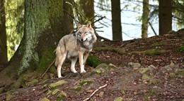 Sommerinterview mit Landrat Manfred Görig (1): Wolfsmanagement ist sinnfrei