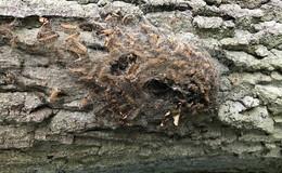 Forstamt Hofbieber warnt vor Nestern der Eichenprozessionsspinner