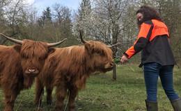 Die Schotten kommen! Hochlandrinder grasen auf Waldwiesen im Forstamt