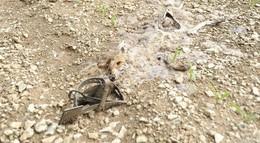Fuchs mit verbotenem Tellereisen getötet - Tagelanger Todeskampf denkbar