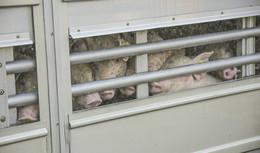 Alle wollen mehr Tierwohl - aber höhere Abgaben für Fleisch sind Blödsinn