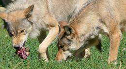 Drei Wölfe bestätigt- Bildet sich hier das erste hessische Rudel?