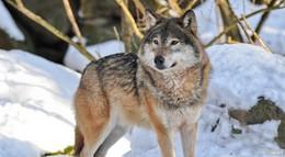Zahlreiche Wolfssichtungen – Wolf aus Wildpark weiterhin auf der Flucht