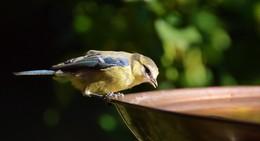 NABU Hessen: Auf Sauberkeit bei Trink- und Badestellen für Vögel & Co. achten