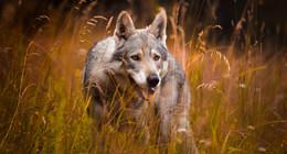 Weidetierhalter sind empört: Entwurf des Wolfsmanagementplans vorgestellt