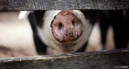 Es stinkt immer noch unerträglich nach Tierfutter - Niesig stöhnt und leidet