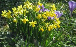 Krokusse und Osterglocken blühen, Bienen sammeln schon fleißig Nektar