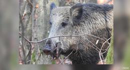 Bundesministerin informiert: Afrikanische Schweinepest erreicht Deutschland