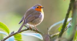 Von 13. bis 16. Mai: Deutschlandweiter Countdown zur Stunde der Gartenvögel