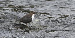 Verein für Naturkunde in Osthessen gewinnt für die Wasseramsel im Lotto