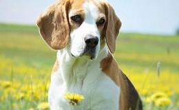 Beagle-Hündin Amelie wieder bei ihren Besitzern