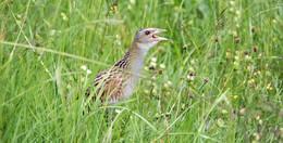 Vogelkinder brauchen Ruhe: Mit einfachen Regeln Wiesenbrüter schützen
