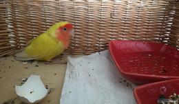 Besitzer gesucht: Wer vermisst seinen Rosenköpfchen-Papageien?