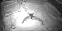 Video geht viral: Haben Wölfe einen Tanner Hofhund zerfleischt?