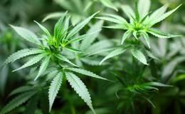 Bis zu 1,9 Kilogramm Marihuana: Polizeiermittler machen dicke Beute